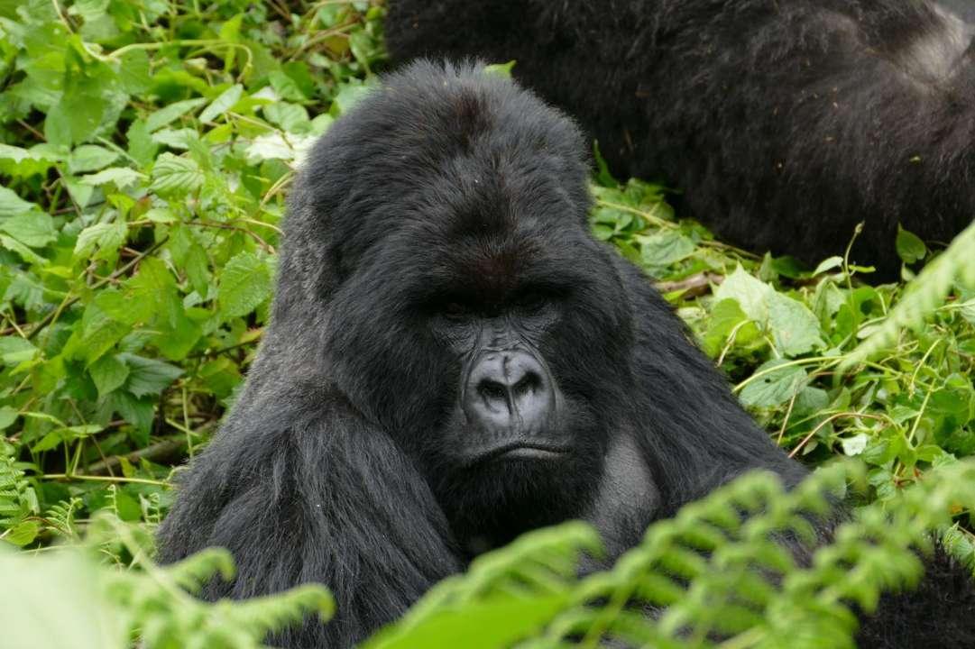 mountain gorilla rwanda